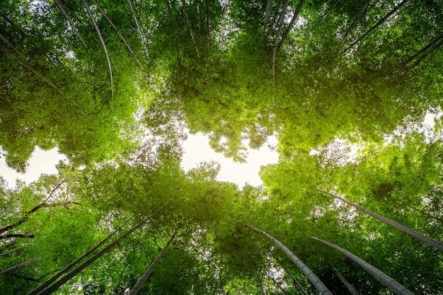 Inquadratura dal basso dell'immagine della foresta di bambù ad arashiyama, giappone