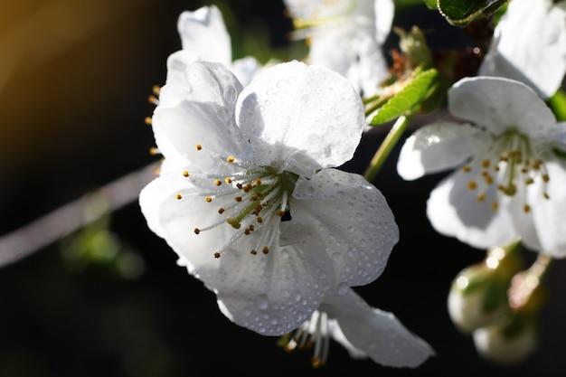 Fotografia chiave bassa. ramo con fiori bianchi e foglie verdi fresche. fiore fresco e profumato di primavera. fotografia macro. fiore delicato del bellissimo albero di ciliegio. sfondo floreale.