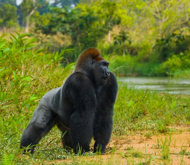 Gorilla di pianura allo stato brado. repubblica del congo