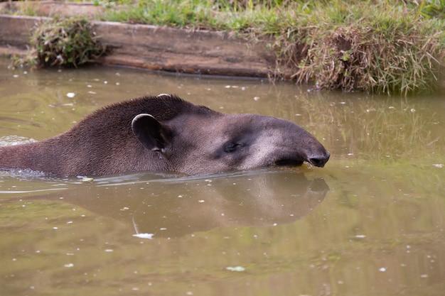 Il tapiro di pianura noto anche come tapiro è un mammifero perissodattilo della famiglia tapiridae
