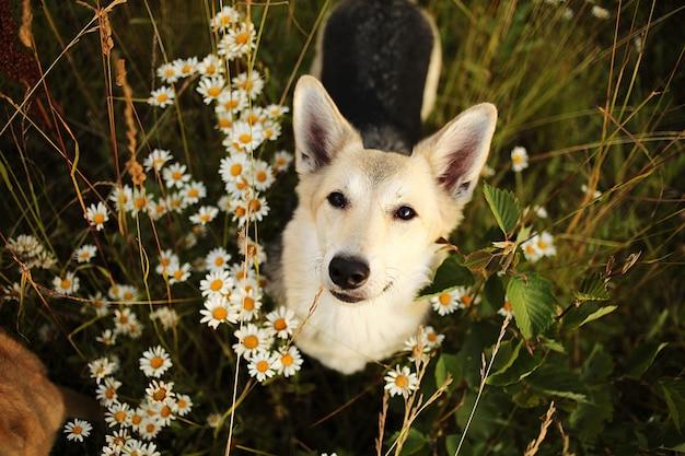 Fedele cane seduto tra le camomille al giorno d'estate