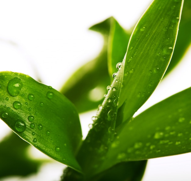 Bambù fortunato con gocce d'acqua