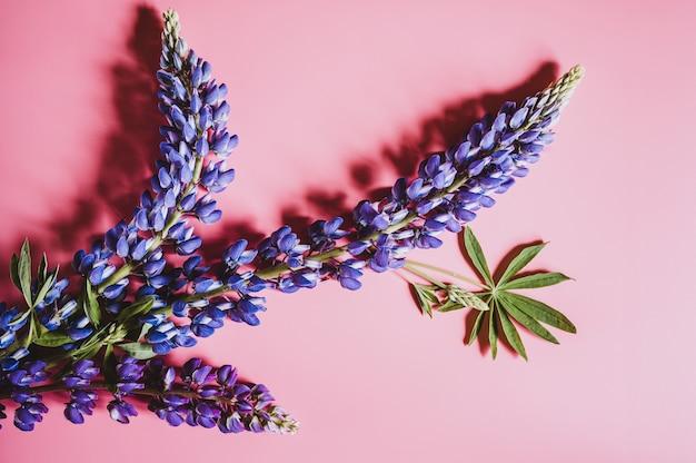 Fiori di lupino in colore blu lilla in piena fioritura su uno sfondo rosa piatto laici