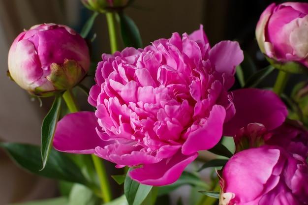 Lush ha aperto il fiore luminoso del bocciolo di peonia rosa