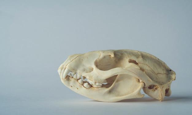 Luwak musang martora cranio isolato