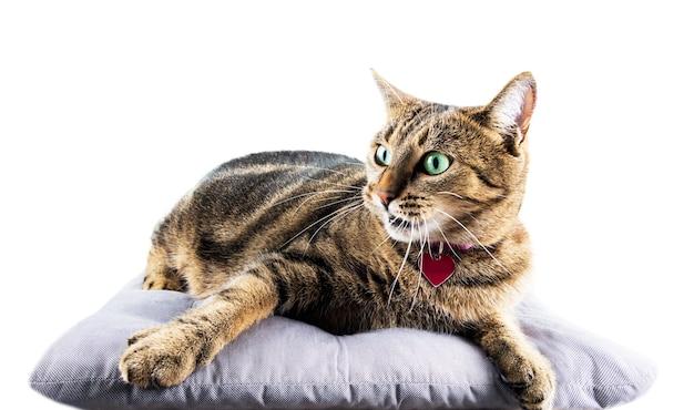 Il lussuoso gatto del bengala giace su un morbido cuscino e tira pigramente la zampa di lato.