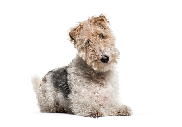 Riposarsi cane fox terrier, isolato
