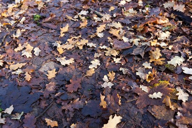 Adagiato a terra caduto nel fogliame autunnale di alberi decidui, primo piano, parte del fogliame della quercia è chiaro e solo di recente, parte annerito