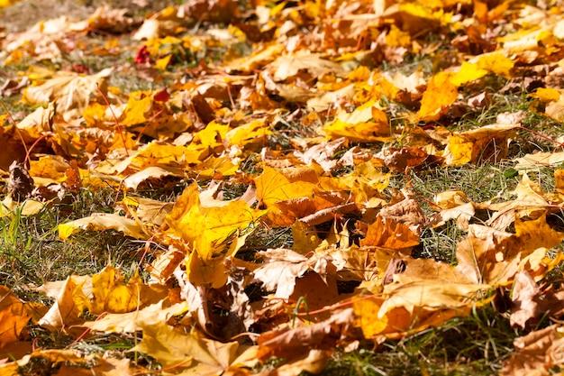 Sdraiato sul terreno e sull'erba verde caduti durante la caduta dell'autunno giallo e arancio fogliame acero e altri alberi decidui, primo piano