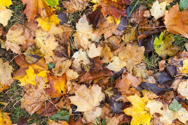 Sdraiato sulle foglie di acero gialle a terra nella stagione autunnale. posizione nel parco. piccola profondità di campo. retroilluminazione sole