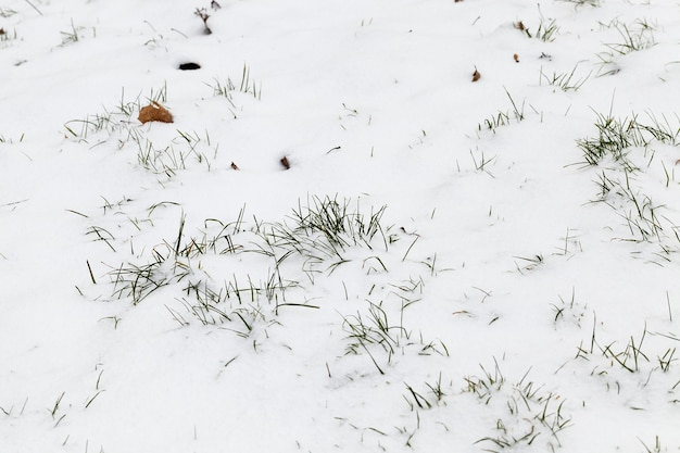 Sdraiato sulla neve dopo l'ultima nevicata, foto scattata nella stagione invernale di erba secca su uno sfondo bianco di neve