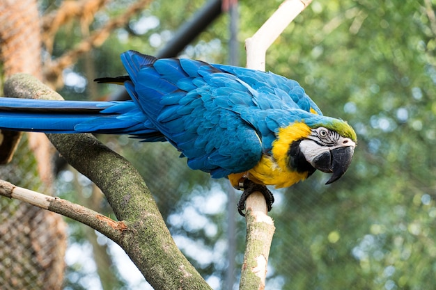 Macaw caninde che mangia e vola liberamente all'interno di un parco. arara caninde è originaria del brasile.
