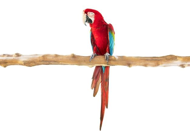 Ramo di albero appollaiato del pappagallo dell'ara isolato sul percorso di residuo della potatura meccanica del fondo bianco