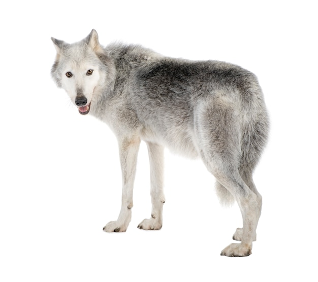 Mackenzie valley wolf con 8 anni. canis lupus occidentalis