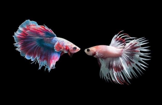 Macro di 2 pesci combattenti siamesi (code della corona che combattono i pesci), splendens di betta isolati sul bac nero