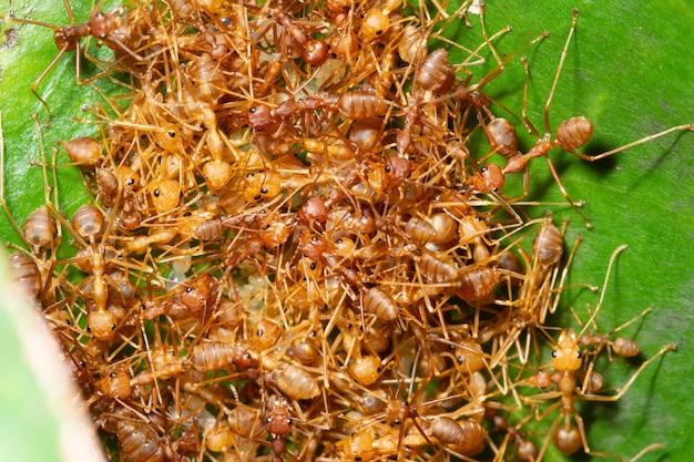 Macro colonia di formiche in natura.