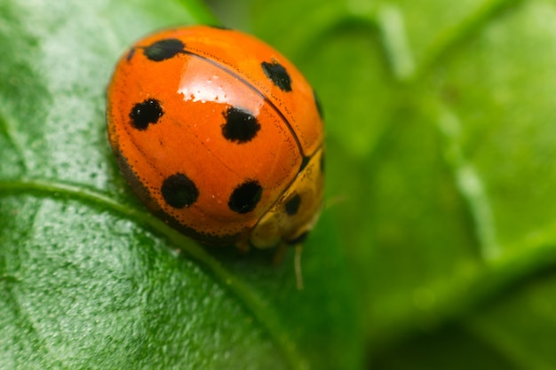 Macro dell'insetto dell'insetto (della coccinella) e fine di colore del nero del punto su sulla foglia verde
