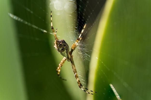 Macro primo piano di un ragno da giardino su una ragnatela con foglie verdi dietro. araneae è un ordine di artropodi della classe arachnida. specie conosciute con i nomi comuni di ragni o aracnidi.