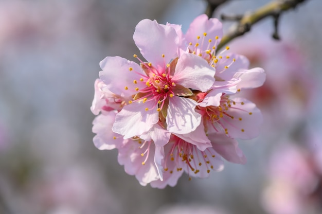 Macro primo piano dei fiori di fioritura di rosa del mandorlo durante la primavera
