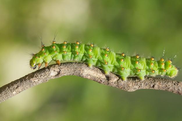 Macro closeup colpo del bruco di saturnia pavonia noto anche come la falena imperatore su un ramoscello
