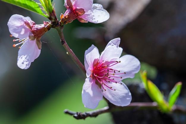 Macro dettaglio di un fiore di pesco che è sbocciato in primavera