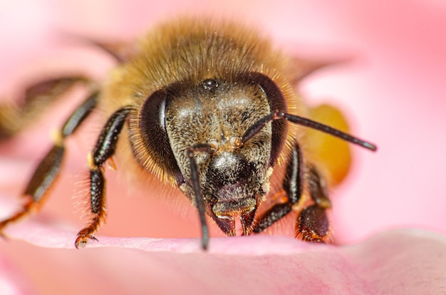 Dettagli macro di una piccola ape su una rosa