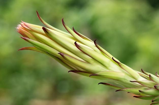 Macro del fiore del drago con il fuoco selettivo