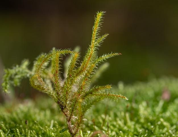 Macro di sporofite verde con gambo marrone su muschio verde
