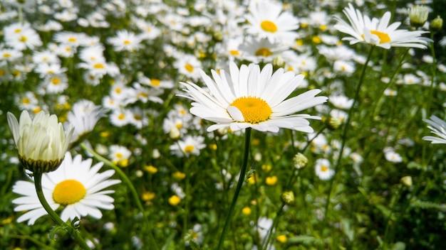 Immagine macro di grande prato nel parco coperto di fiori di camomilla in crescita. sfondo con fiori bianchi