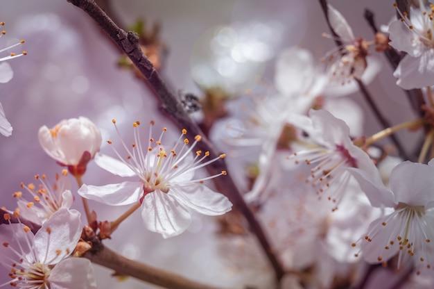 Immagine macro di fiori di ciliegio primaverili, astratto sfondo floreale morbido.