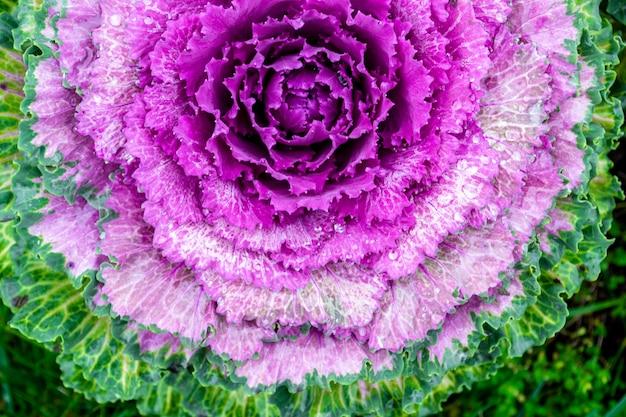 Foto a macroistruzione di cavolo decorativo viola di fioritura. acephala o brassica oleracea decorativa. primo piano, vista dall'alto.