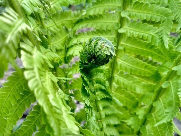 Foto macro di felce. belle foglie di felce. fondo naturale della felce del fogliame verde.