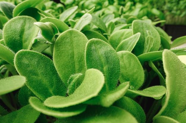 Foto macro di micro germogli verdi foglie da vicino