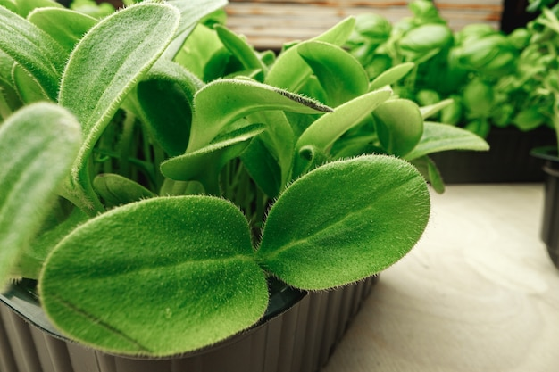Foto macro di micro germogli verdi foglie