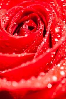 Foto macro di rosa naturale con gocce di pioggia su sfondo nero. gif romantica. ornamento floreale.