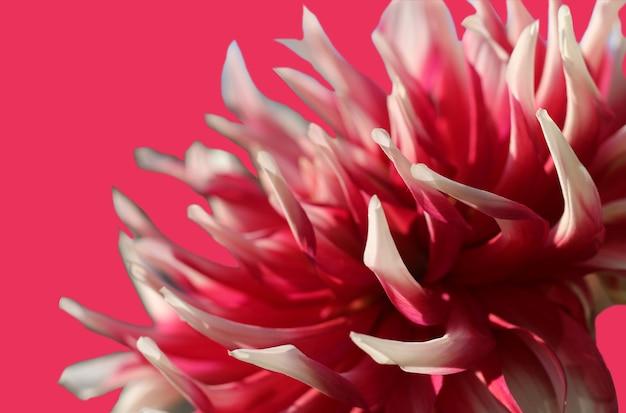 Foto macro di dalia rosa e bianca isolata su sfondo rosa