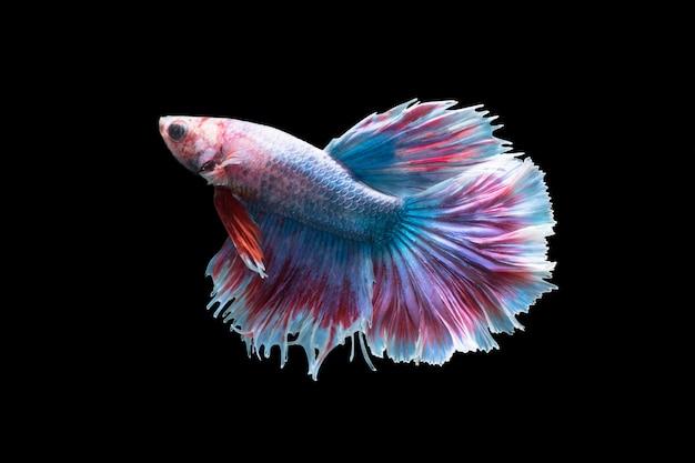 Foto a macroistruzione del pesce combattente siamese (code colorate della luna mezza che combattono i pesci), betta splendens isol