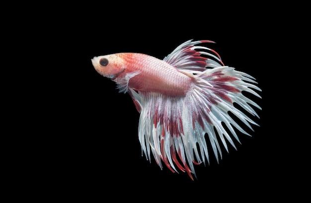 Foto a macroistruzione del pesce combattente siamese (code della corona bianca e rossa che combattono i pesci), betta splendens è