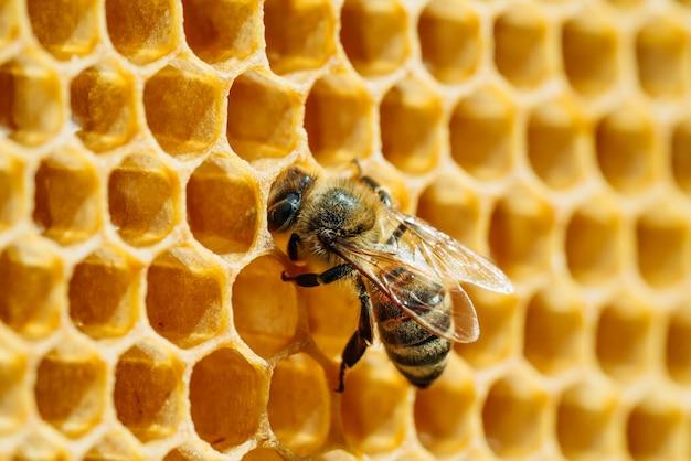 Foto macro di api lavoratrici sui favi. immagine di apicoltura e produzione di miele