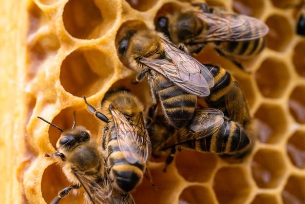 Foto macro di api lavoratrici sui favi. immagine di apicoltura e produzione di miele.