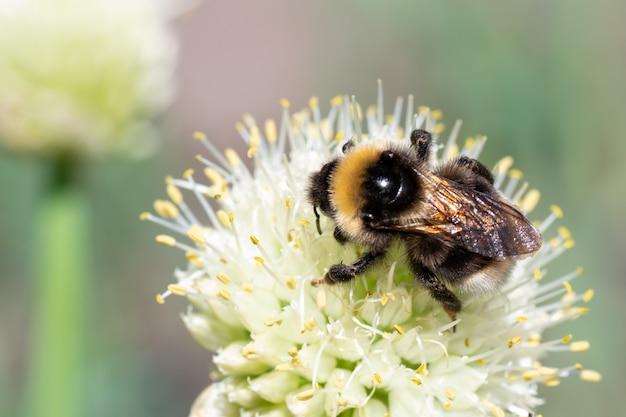 Foto macro di un calabrone a strisce giallo e nero che impollina e raccoglie il nettare