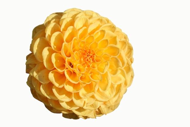 Foto macro di dalia gialla isolata su sfondo bianco