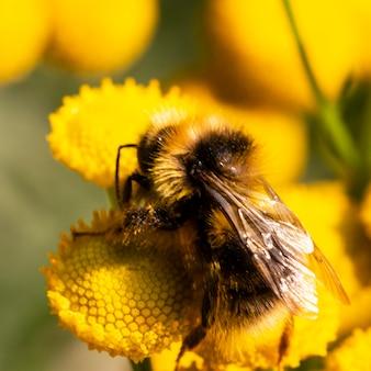 Macrofotografia di un calabrone che raccoglie polline dai fiori gialli di tanacetum vulgare. un calabrone nel polline dei fiori gialli.