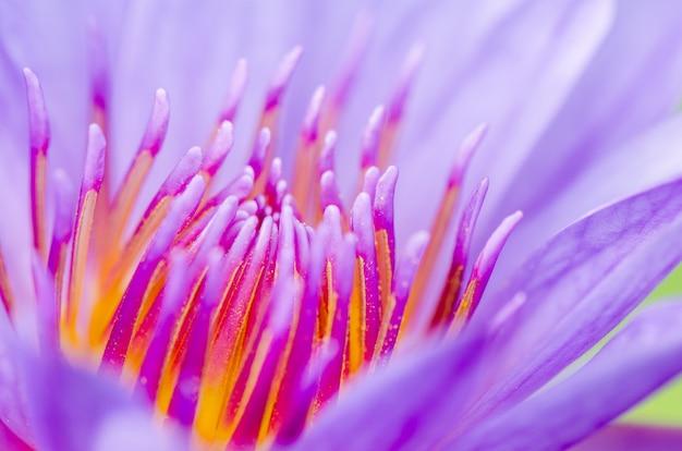 Macro polline di loto viola ( nymphaea nouchali ) , bellissimo fiore in thailandia