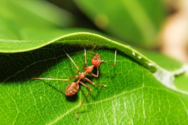 Macro formica rossa sulla foglia verde in natura alla tailandia