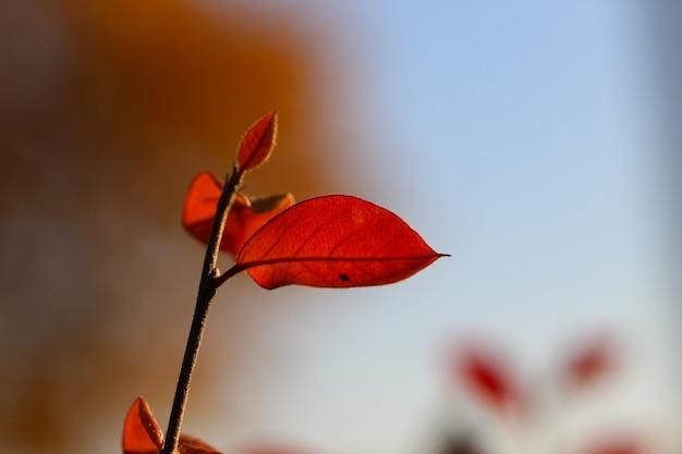 Riprese macro di un ramo di crespino con foglie rosse in controluce contro un naturale autunno sfocato bac