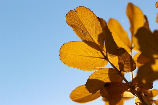 Riprese macro di foglie di rosa canina gialla in controluce su uno sfondo luminoso del cielo blu