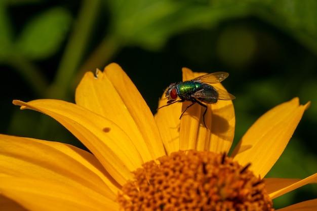 Colpo a macroistruzione di una mosca su un fiore giallo con uno sfocato