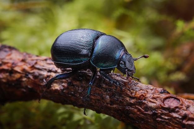 Colpo a macroistruzione dello scarabeo stercorario della foresta (stercorosus di anoplotrupes) sul ramo
