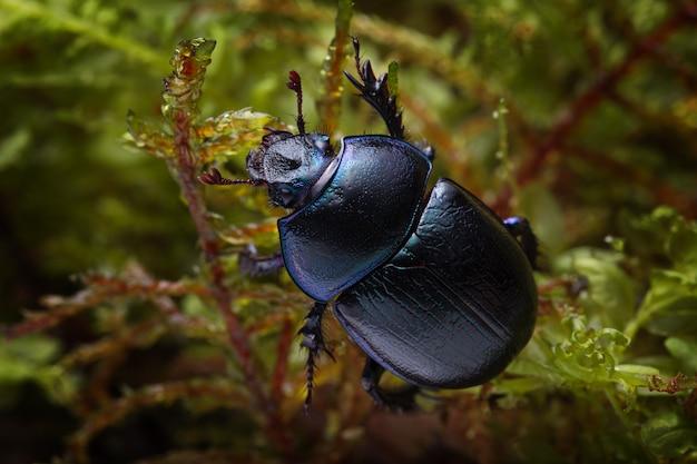 Colpo a macroistruzione dello scarabeo stercorario della foresta (stercorosus di anoplotrupes) sul muschio